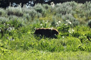Yellowstone black bear 1 - CROP