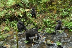 Bwindi gorillas 112