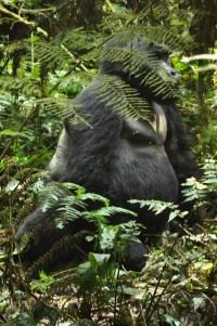 Bwindi gorillas 136 - CROP