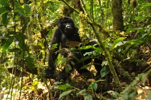 Bwindi gorillas 164