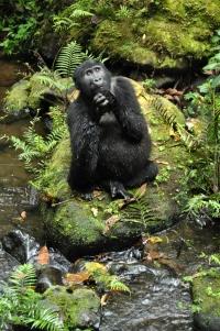 Bwindi gorillas 78