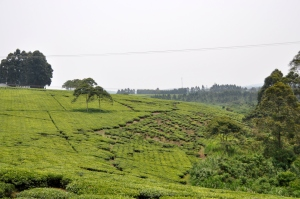 Drive to Bwindi 8 - tea plantation