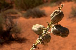Mesa Rim Trail 6 - pepper plant