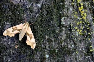 Tree moth 2